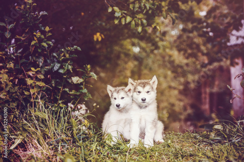 cute puppy alaskan malamute run on grass garden Canvas Print