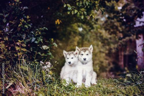 cute puppy alaskan malamute run on grass garden Fototapet