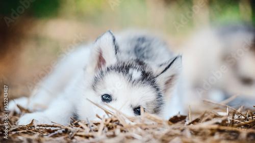 Fotografiet cute puppy alaskan malamute run on grass garden