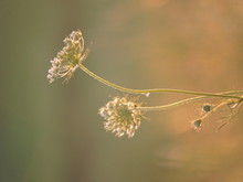 Close-up Of Queen Annes Lace