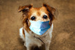 Dog wearing safety mask for protect Corona virus, covid 19 protection mask on cute brown dog,