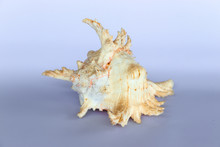 Ramose Murex Shell Front View On A Neutral Background