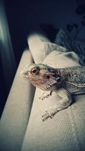Close-up Of Bearded Dragon On Sofa