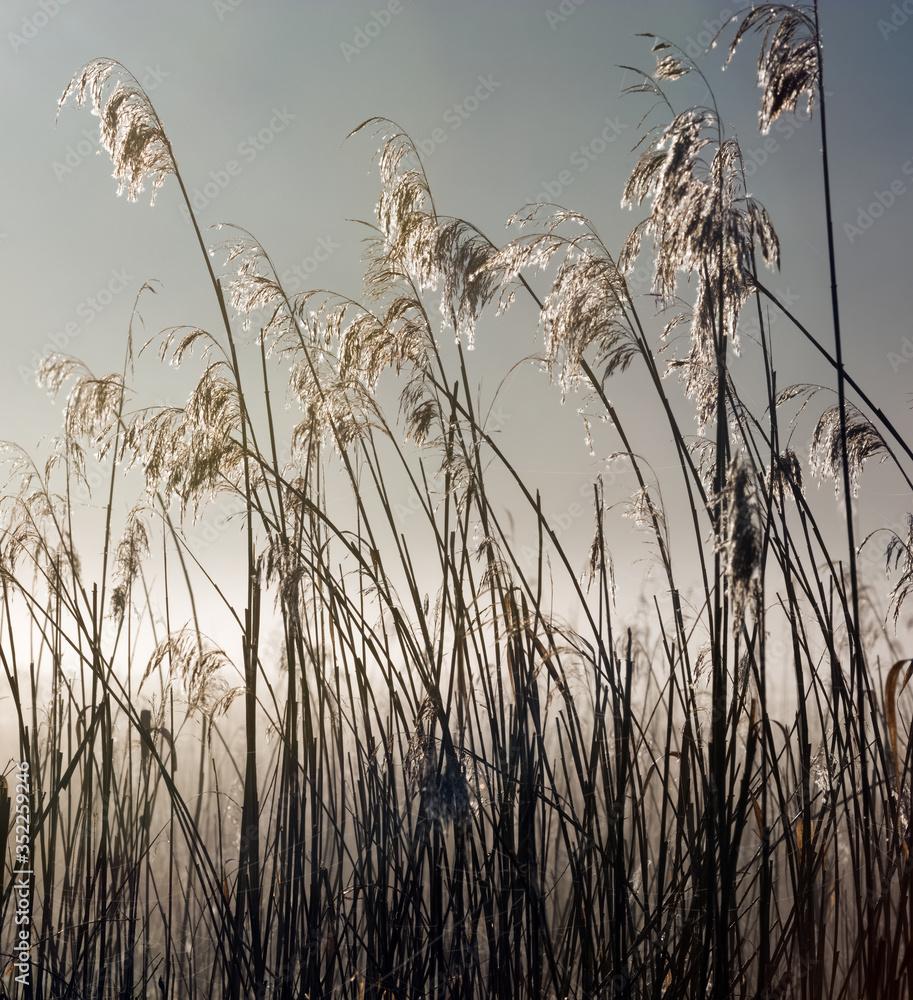 Fototapeta Wiosenne Trzciny Pod Światło