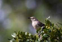 Mockingbird On A Branch