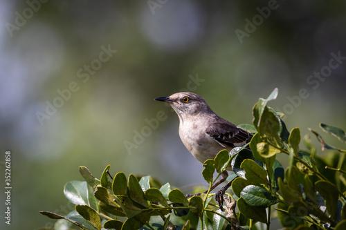 Photo mockingbird on a branch