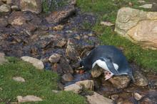 Rockhopper Penguin (Eudyptes C...