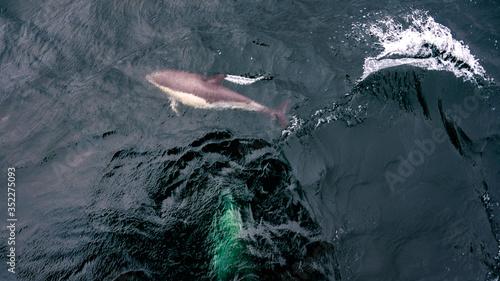 Photo Dauphins en mer au large accompagnant un bateau