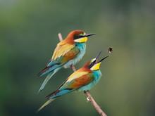Bee-eater Feeding (Merops Apiaster)