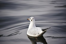 Close-up Of Seagull Swimming On River