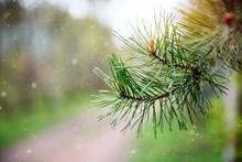 Branch Of A Coniferous Tree W...