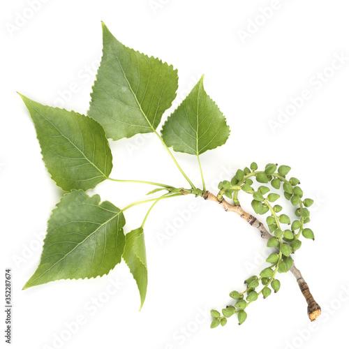Fotografie, Obraz Branch of black poplar isolated on white