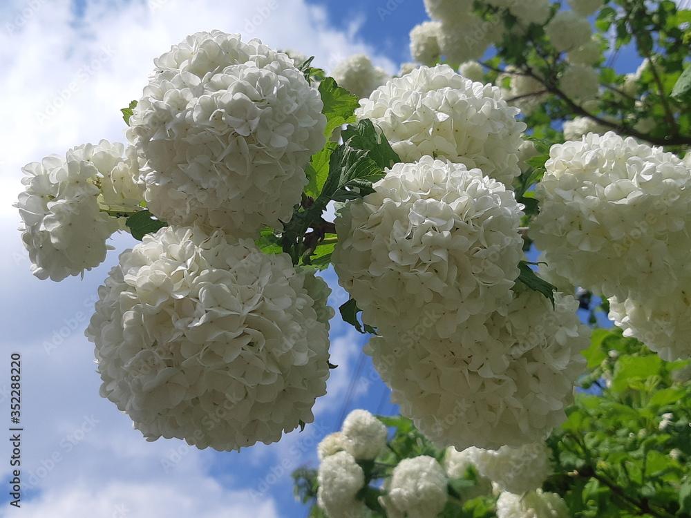 Fototapeta Biały wiosenny kwiat