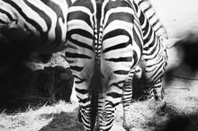 Zebras Grazing Hay On Field