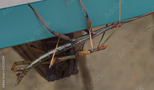Fotografía Walking stick bugs male and female in the act of mating while hanging from a house gutter in Texas