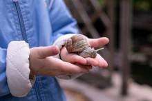 A Large Snail Is Held In The H...
