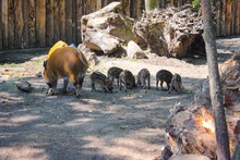 Red River Hog With Few Little ...