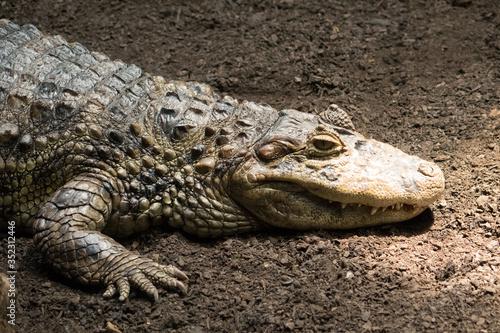Photo Reptile in a Barcelona Zoo. Crocodile / Alligator