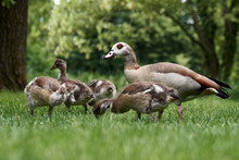 Egyptian Goose Family With Cut...