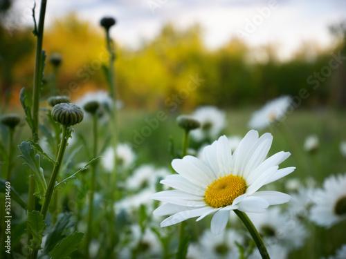 white chamomiles on garden background #352314669