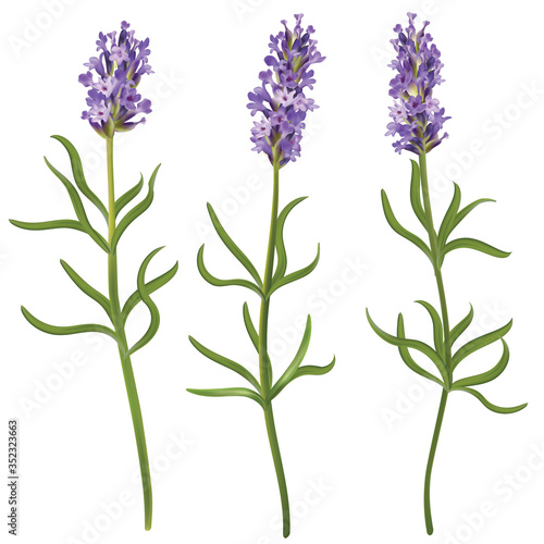 Fototapeta Set of blossom lavender flowers. Vector realistic illustration of aroma herb on isolated background. obraz