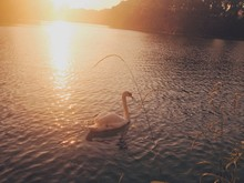 Swan Swimming On Lake During Sunset
