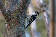 A Male Downy Woodpecker On A T...