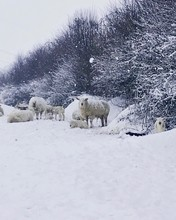 Sheep In A Field Full Of Snow
