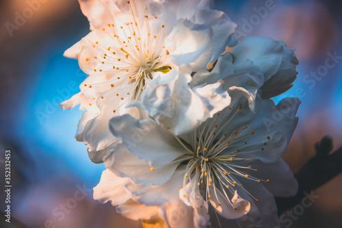 Fotografiet Close-up Of White Cherry Blossom