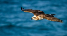 Osprey Flying Over Sea