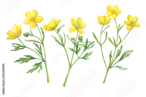 Set of the yellow flower meadow buttercup (known as Ranunculus acris, sitfast, spearworts or water crowfoots) Canvas Print