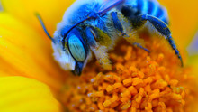 Blue Bee On Yellow Flower Macro