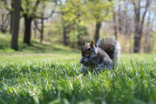 A Wild Squirrel Eating In The Green Grass Of The Mount Royal Park