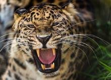 Portrait Of Furious Leopard With Mouth Open