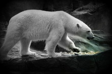 Polar Bear On Rock At Zoo