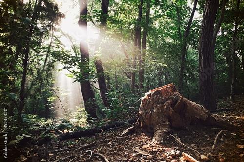 Sunlight Falling On Tree Stump In Forest Fototapet