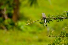 Tirano Tijereta Rosado (Tyrannus Forficatus) Perchado En Rama Sobre Fondo Verde Borroso, En La Península De Yucatán, México.