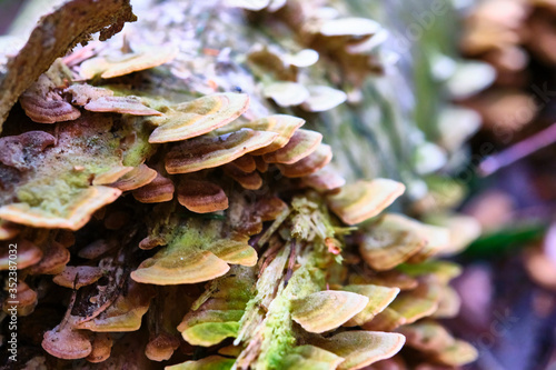 wild fungus that grows on the trunk of a felled tree Fototapeta