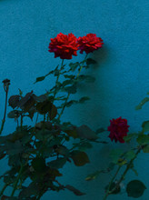 Close-up Of Red Roses Growing ...