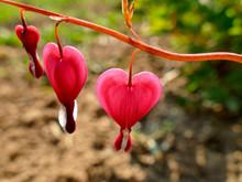 Bleeding Heart With Flowers In...