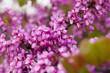 Leinwanddruck Bild - Blossoming of purple cercis siliquastrum in meadows of Europe