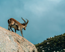 Spanish Male Mountain Goat Wit...