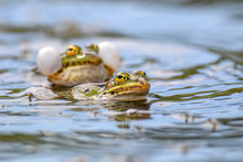 Common Frogs Pairing In A Pond...