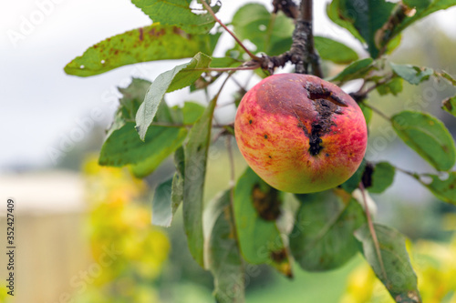 Fotomural Branch of Apple tree with rotten hole by ripe reddened Apple