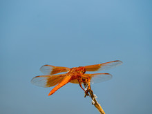 Close Up Shot Of A Flame Skimmer