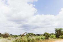 Giraffe In Afrikanischer Savanne