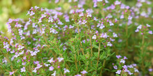 Thymus Vulgaris Or Common Thyme. Flowering Thyme  In The Wild.