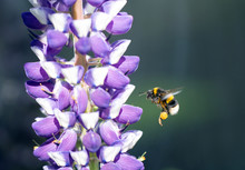 Honey Bee In Flight  With Legs Covered On Pollen, Next To A Purple And White Lupin In Full Flower, With A Dark Background