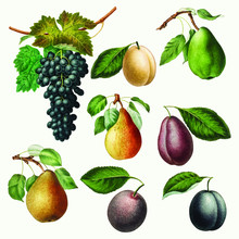Set Of Grape, Pears And Plums ...