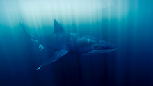 Great White Shark In Ocean, Un...